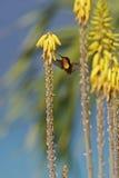 提供的蜂鸟红宝石黄玉 库存照片