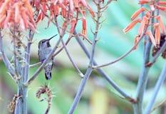 提供的蜂鸟花蜜 免版税图库摄影
