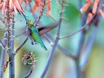 提供的蜂鸟花蜜 免版税库存图片