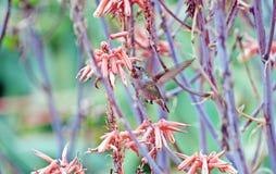 提供的蜂鸟花蜜 库存照片