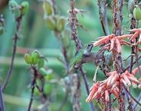 提供的蜂鸟花蜜 免版税库存照片