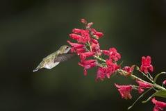 提供的蜂鸟 免版税图库摄影
