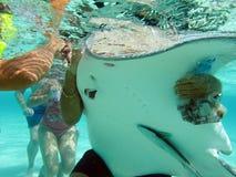 提供的黄貂鱼 免版税库存照片