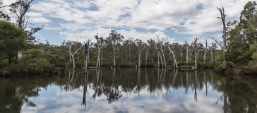提供美好的反射的死的树在水 库存图片