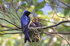 提供饥饿的紫色的鸟小鸡 免版税图库摄影