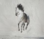 提出疾驰的马的照片 免版税库存照片