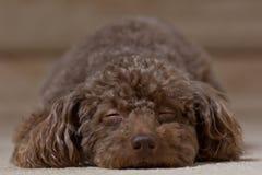 提出睡觉2的布朗狗 免版税图库摄影