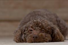 提出设法的布朗狗去睡 免版税库存照片