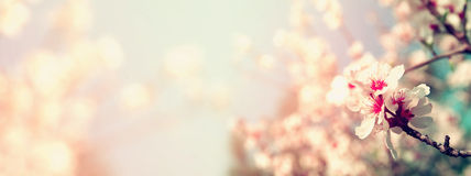 提取春天白色樱花树被弄脏的网站横幅背景  选择聚焦 被过滤的葡萄酒 免版税库存图片