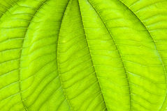 提取热带背景绿色的叶子 库存图片