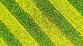 提高开花的黄色的条纹和绿色油菜的天线的农业领域 影视素材