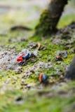提琴手螃蟹招潮蟹类chlorophthalma crassipes 免版税图库摄影