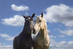 鼻插入反对与白色云彩的蓝天的两匹马 免版税库存照片