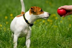 插孔宠物罗素狗 库存照片