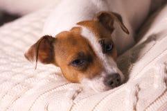 插孔小睡的小狗罗素狗 库存图片