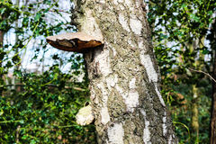 插孔真菌 免版税图库摄影