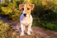 插孔纵向罗素狗 走在秋天胡同的小狗 免版税库存图片