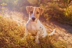 插孔纵向罗素狗 走在秋天胡同的迷人的小狗 免版税库存图片