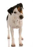 插孔罗素常设狗 库存照片