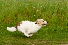 插孔罗素狗 免版税图库摄影