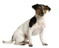 插孔罗素端坐的狗视图 免版税库存照片