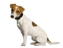 插孔配置文件罗素坐的狗 免版税库存图片