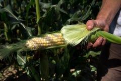 握一个成熟玉米穗的农夫 免版税库存图片