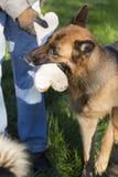 握在嘴的狗大骨头 免版税库存照片