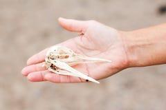握鸟头盖骨的手 免版税库存图片