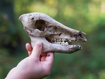 握鹿的头骨的手在森林里 免版税库存图片