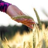 握麦子的一个成熟的耳朵的妇女 库存图片