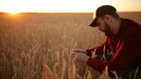握麦子的耳朵的农艺师人在他的面孔和鼻子附近在金黄麦田 愉快的农夫嗅他庄稼关心 股票视频