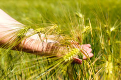 握麦子耳朵的女性手 免版税库存照片