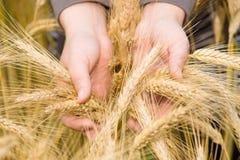 握麦子耳朵的手。 库存图片