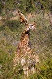 搂颈亲热长颈鹿 免版税库存图片
