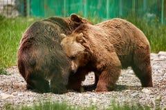 搏斗在动物园里的熊 免版税库存图片
