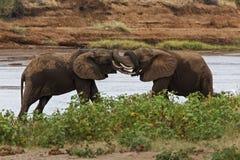 搏斗的大象 免版税图库摄影