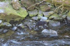 搜寻三文鱼的黑熊在乌山头水库熊观测所在夏天在Wrangell阿拉斯加附近 图库摄影
