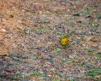 搜寻为在地面上的昆虫的观点的小公北美黄色林莺 免版税库存照片
