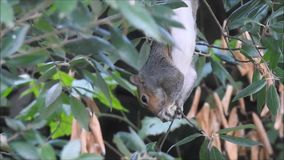 搜寻为橡子的英国灰色灰鼠