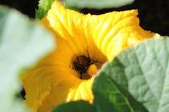 搜寻为花蜜的熊蜂terrestris,与在身体的花粉 免版税库存图片