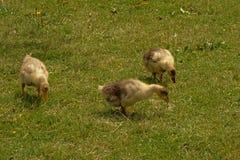 搜寻为食物的三只鹅鸭子他放牧 库存图片