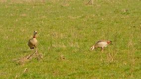 搜寻为食物的两只埃及鹅,啄在地面,选择聚焦- Alopochen aegyptiaca 免版税库存图片