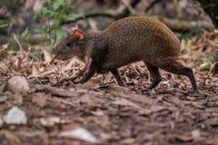 搜寻为食物的中美洲刺豚鼠 库存照片