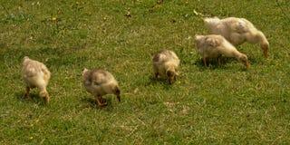 搜寻为食物的五只鹅鸭子他放牧 库存照片