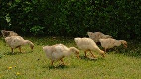 搜寻为食物的鹅鸭子他放牧 免版税库存图片