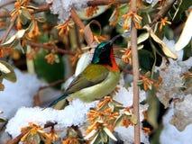搜寻叉子被盯梢的Sunbird的雪 库存图片