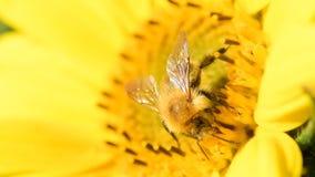 搜寻在向日葵的蜂在一个美好的晚夏下午期间 股票录像