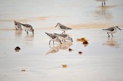 搜寻在岸的食物的幼小海鸥在古巴 免版税图库摄影