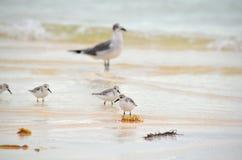 搜寻在岸的食物的幼小海鸥在古巴 免版税库存照片
